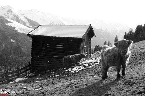 Paesaggi austriaci con strane specie animali. Foto di Eleonora raggi