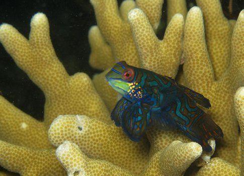 """""""Synchiropus splendidus"""" comunemente chiamato """"Pesce Mandarino"""" - Foto di Mauro Piceno"""