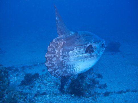Mola Mola - Foto di Simone Carletti