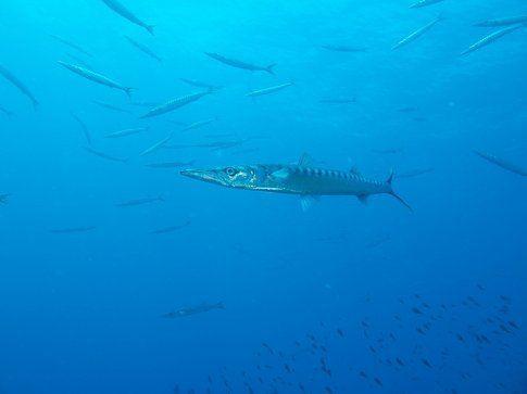 Barracuda - Foto di Simone Carletti