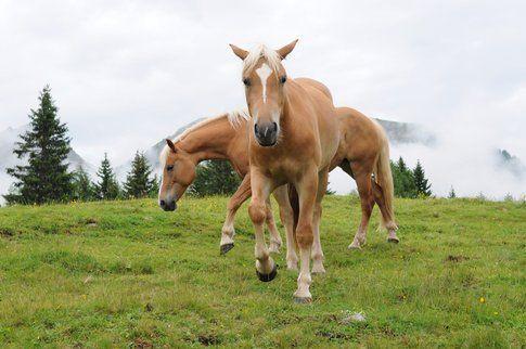 Cavalli a Fuciade in Val di Fassa