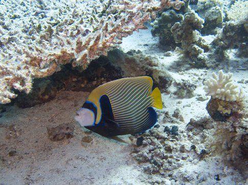 Pesce Farfalla - Foto di Simone Carletti