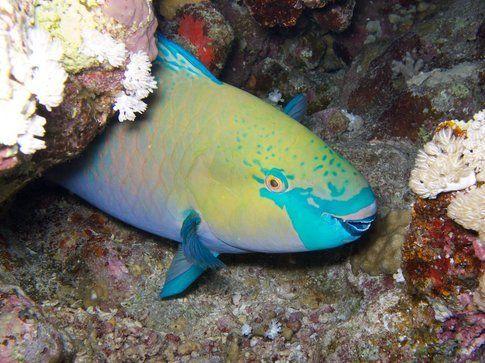 Pesce pappagallo - Foto di Simone Carletti