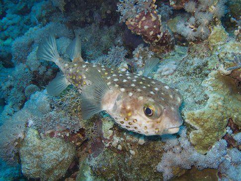 Pesce palla - Foto di Simone Carletti