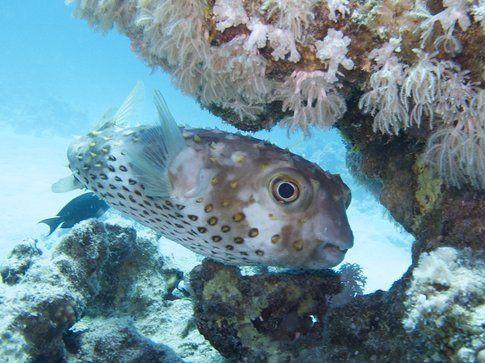 Pesce istrice - Foto di Simone Carletti