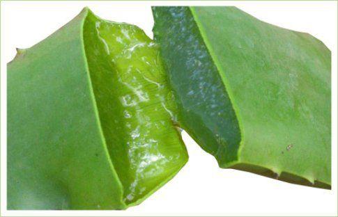 Foglia della pianta di aloe