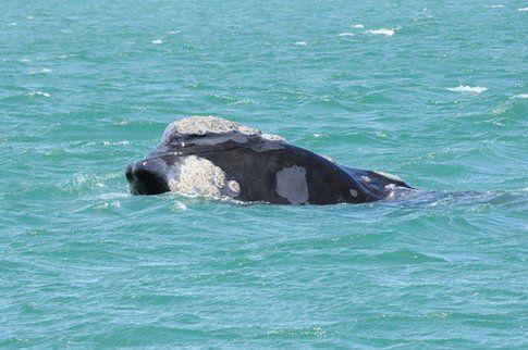 Balene ad Hermanus