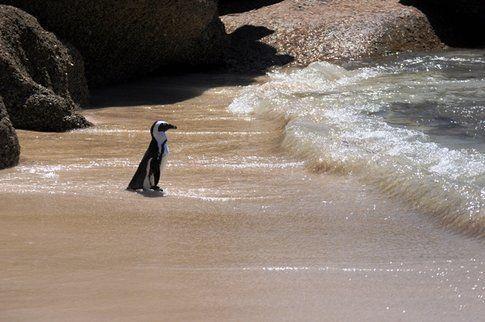 Pinguini a Boulders Beach