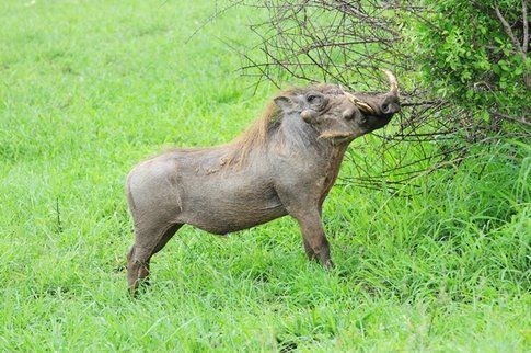 Facocero al Kruger Park ©MarziaKeller