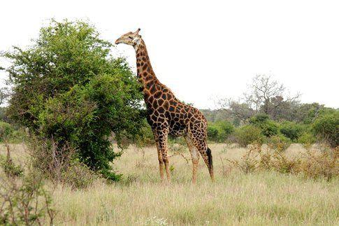 Giraffa al Kruger Park ©MarziaKeller