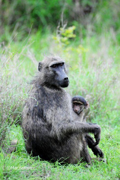 Babbuino nero al Kruger Park ©MarziaKeller