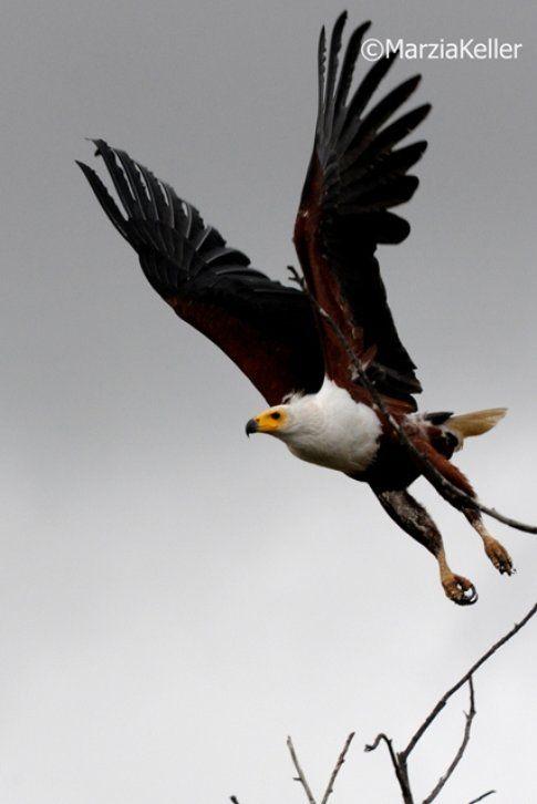 Aquila al Kruger Park ©MarziaKeller