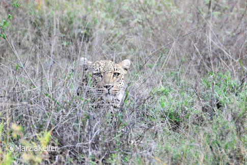 Leopardo al Kruger Park ©MarziaKeller