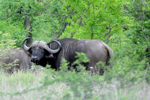 Bisonti al Kruger Park ©MarziaKeller