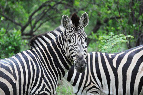 Zebre al Kruger Park ©MarziaKeller