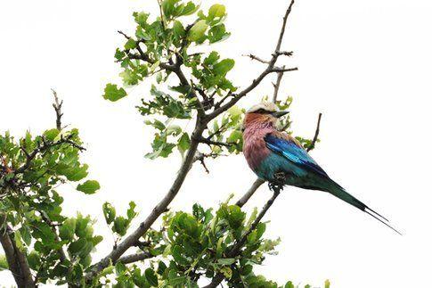 Lilac-breasted Roller al Kruger Park ©MarziaKeller