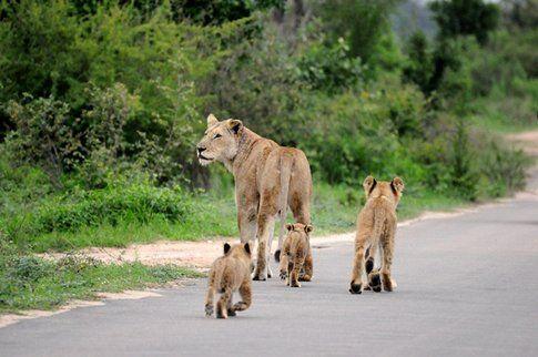 Leonessa e cuccioli al Kruger Park ©MarziaKeller