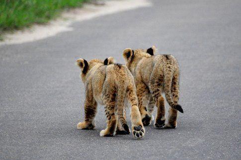Leoncini al Kruger Park ©MarziaKeller