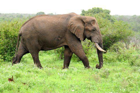 Elefante al Kruger Park ©MarziaKeller