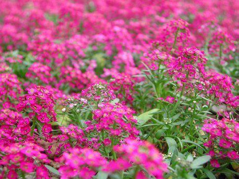 fiori fuxia