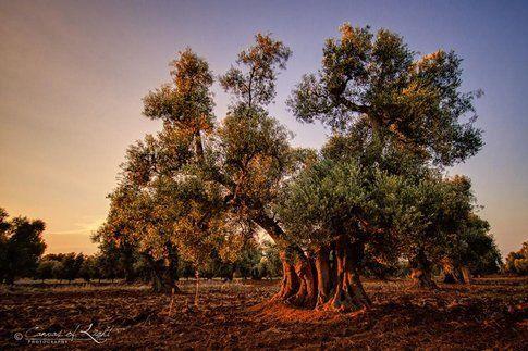 Ulivi - Foto Daniel Nahabedian
