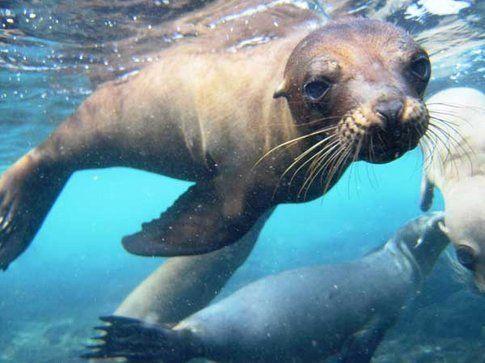 Nuotare con i leoni marini