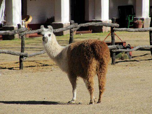 Alpaca, animale che dal Nord dell'Argentina al Perù diventerà molto comune incontrare - Foto by www.viaggiare-low-cost.it