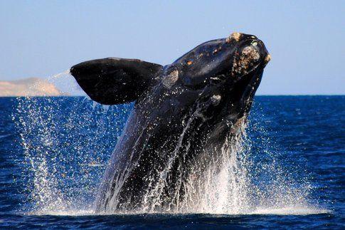Avvistamento Balene in Patagonia - Foto by http://seakayakadventures.com/