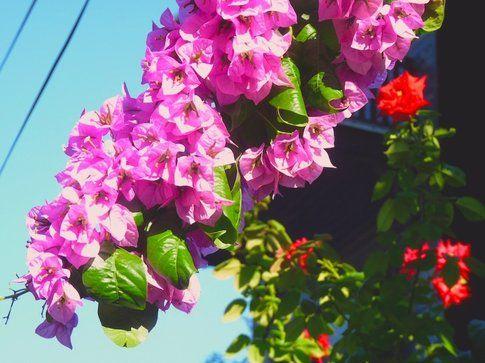 Bugainville e rose a Heybeliada - foto di Elisa Chisana Hoshi