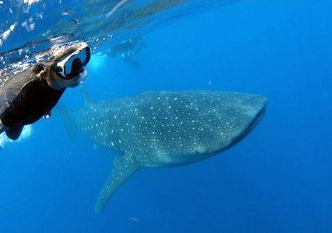 Utila nuotare con lo squalo balena