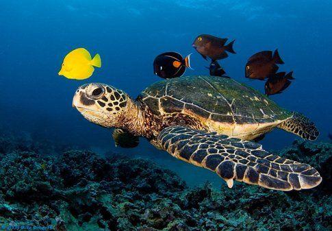 Tartaruga caretta - Foto by viverelampedusa.it