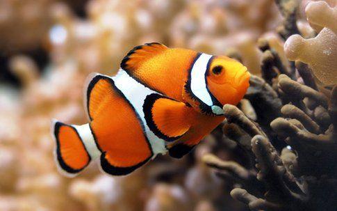 Pesce pagliaccio - foto by passionepesce.it