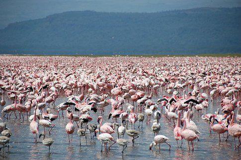 Fenicotteri al Lake Nakuru - Kenya