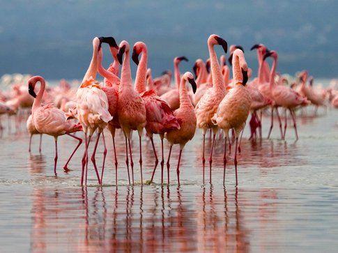 Uzi Yachin - Fenicotteri a Lake Nakuru