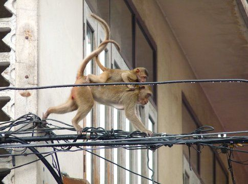 Le scimmiette di Lopburi - foto di Elisa Chisana Hoshi