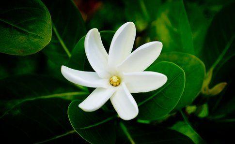 Il meraviglioso fiore di Tiarè