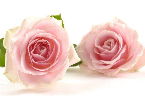 Rosa bulgara Damascena