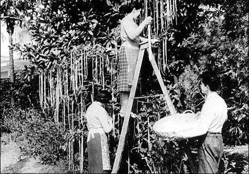 La pianta di spaghetti