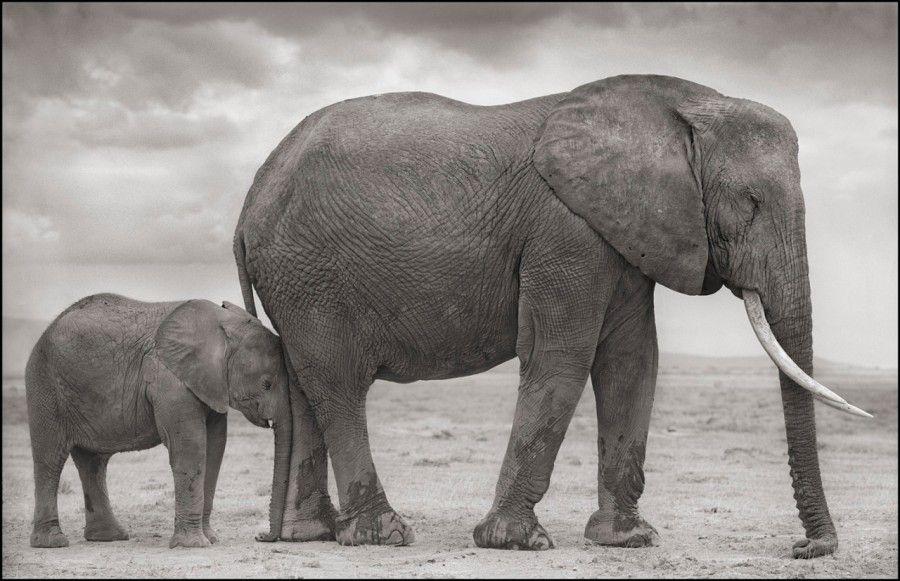 ElephantMotherBabyNuzzledintoLeg