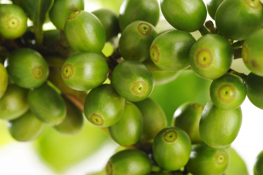 Semi di caffè verde