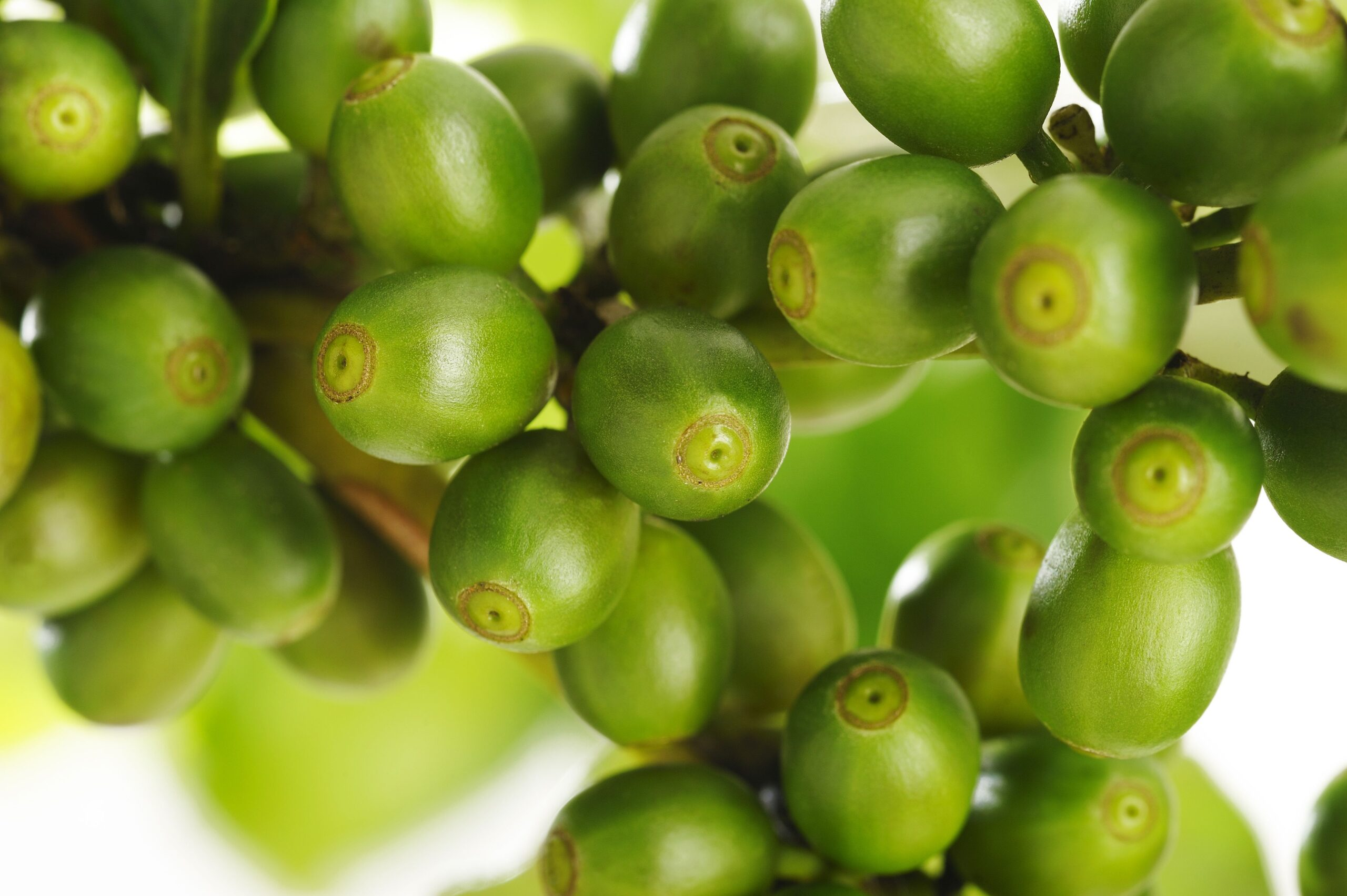 Caffè verde: dimagrire in modo naturale
