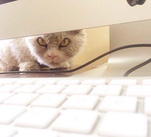 Pompous Albert, gatto - Fonte: Instagram