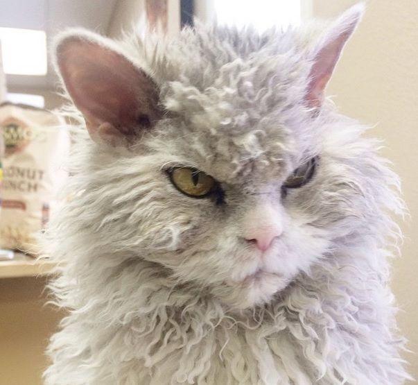 Ecco chi è il gatto più arrabbiato del mondo
