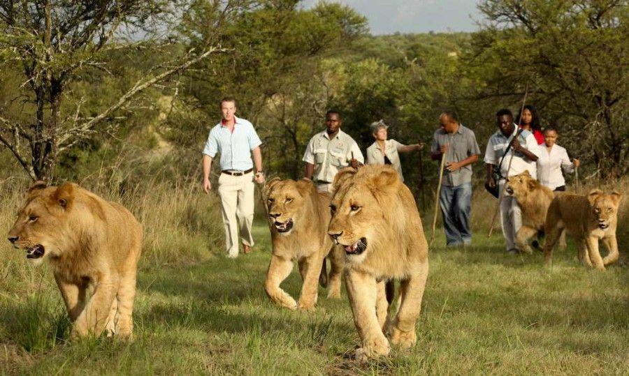 Zimbawe lions