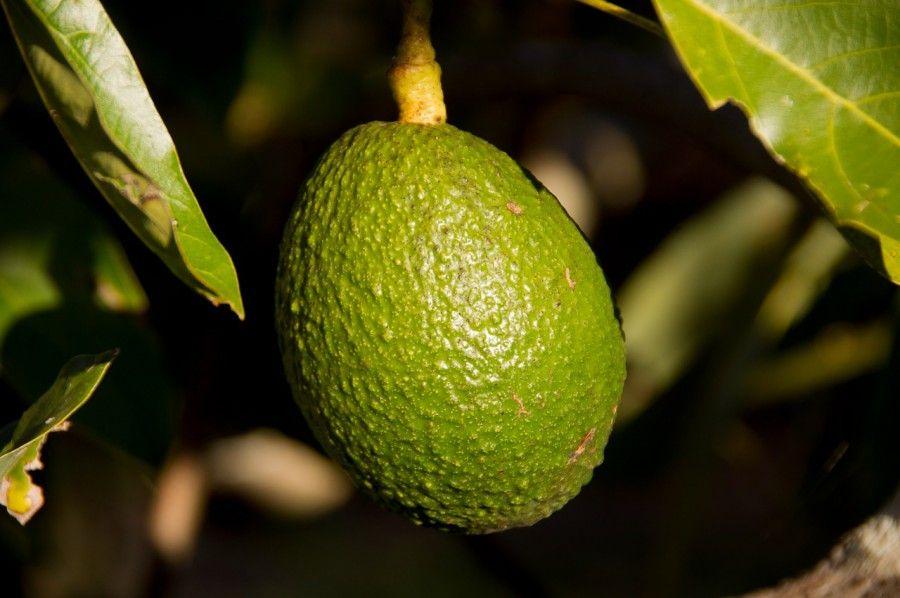 L'avocado ha molte proprietà benefiche per il corpo