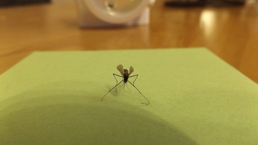 Perché le zanzare pungono