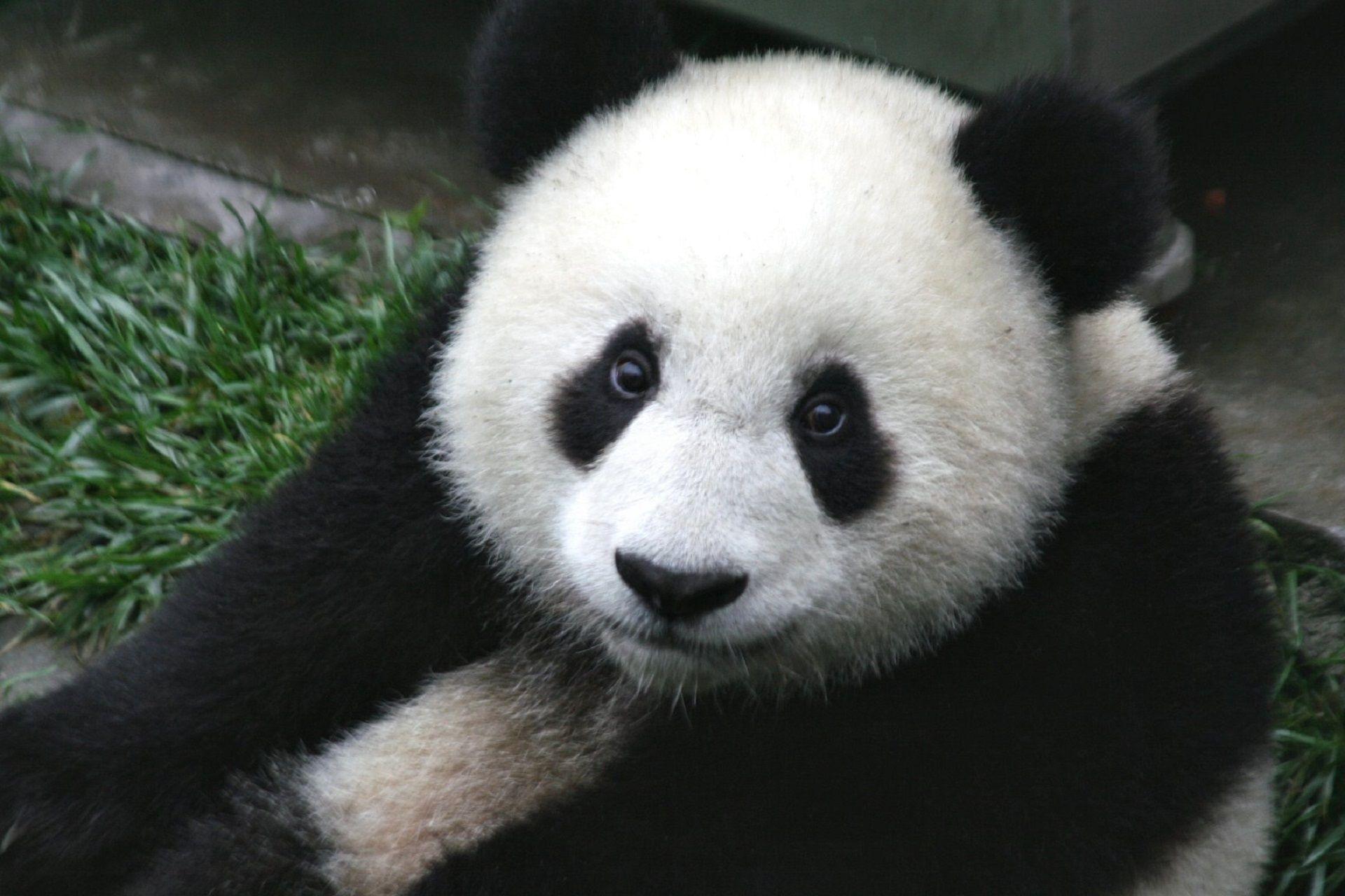 animali-esotici-04-panda