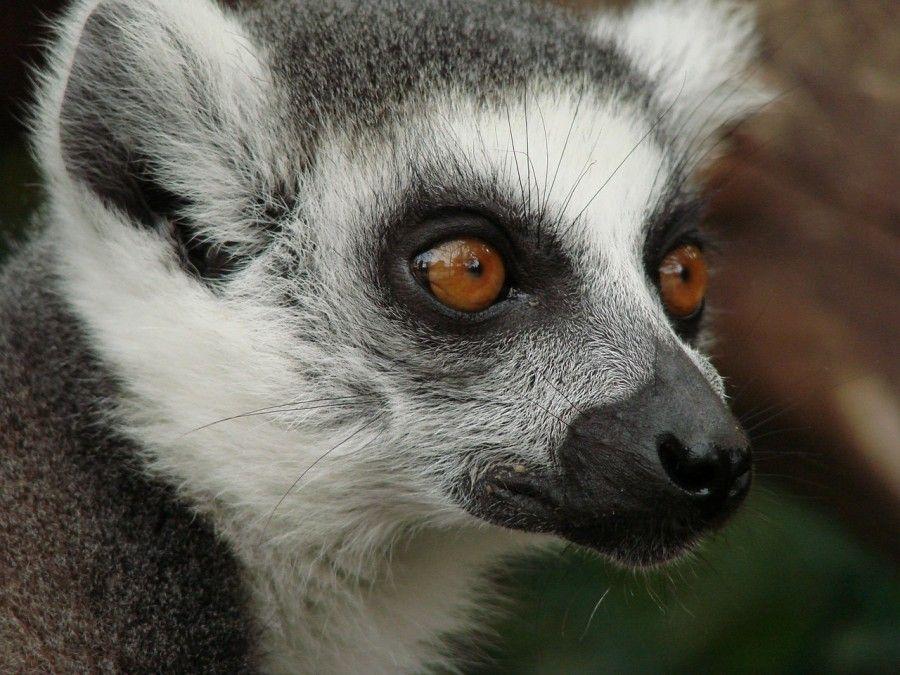 animali-esotici-07-lemuri