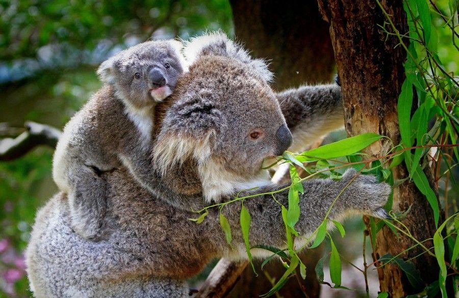 animali-esotici-08-koala