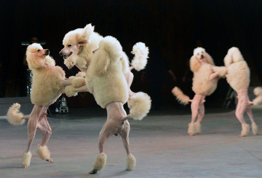 Chissà che tu e il tuo cane non condividiate lo stesso amore per il ballo?
